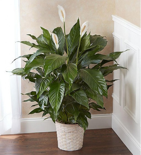 Peace Lily Plant (Small)