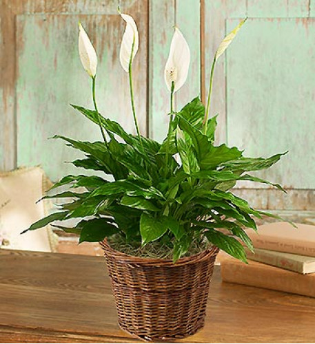 Spathiphyllum Plant for Sympathy (Small)