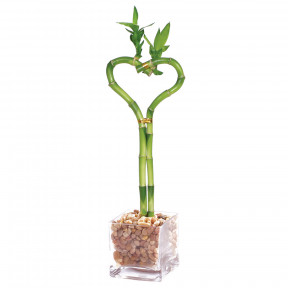 Lucky Bamboo - Heart Shaped - DT5033HSB