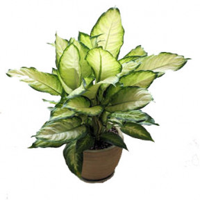 Dieffenbachia in Pot