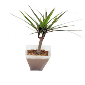 Dracaena in White Glass Vase