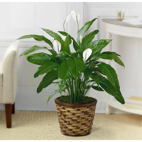 The Spathiphyllum Plant  - BASKET INCLUDED