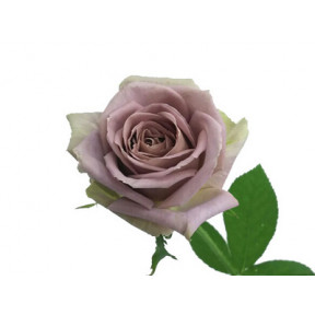 Rose of November:Tenature (Small)