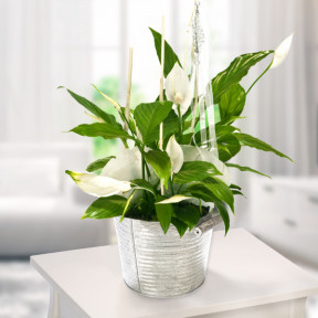 Big Peace Lily