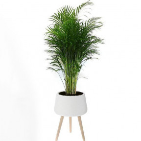Areca In A Ceramic Base With Wooden Stand