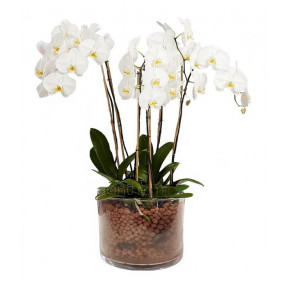 Orchid White Phalaenopsis (4 Stems In A Glass)