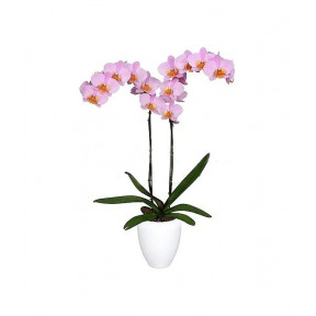 Pink Exotic Orchid Plant