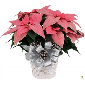 Pink Poinsettia (Small)
