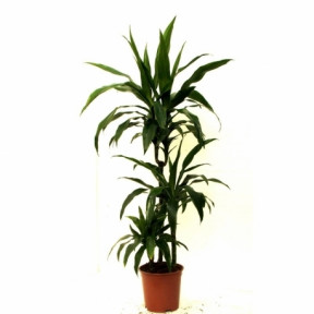 Dracaena In A Pot