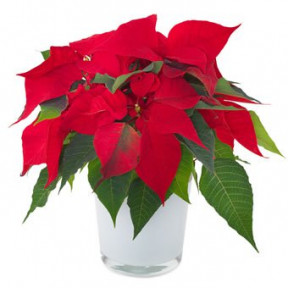 Red Poinsettia (Refined)