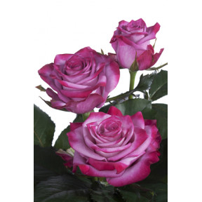 Deep Purple roses - the world's most beautiful roses (Large)
