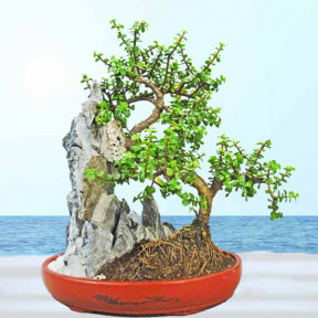 Jade Plant Bonsai - About 40Cm Height