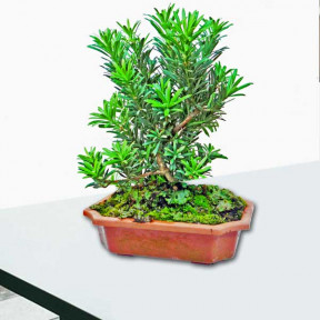 Pine Tree Bonsai About 25Cm Height