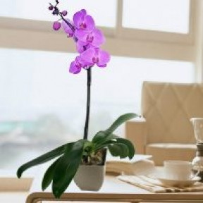 Live Phalaenopsis Purple Orchid In Flower Pot