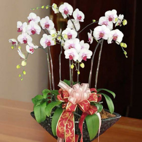 Live Phalaenopsis Orchids White Center Purple Color Potted Plant 8 Sprays