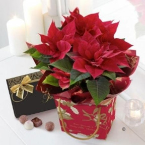 Red Poinsettia Plant With Gourmet Chocolates