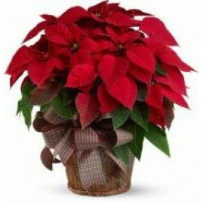 Twin Red Poinsettia Plant