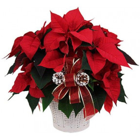 Potted Red Poinsettia Plant (large Size)