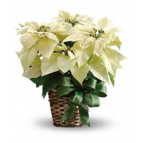 Potted White Poinsettia Plant (large Size)