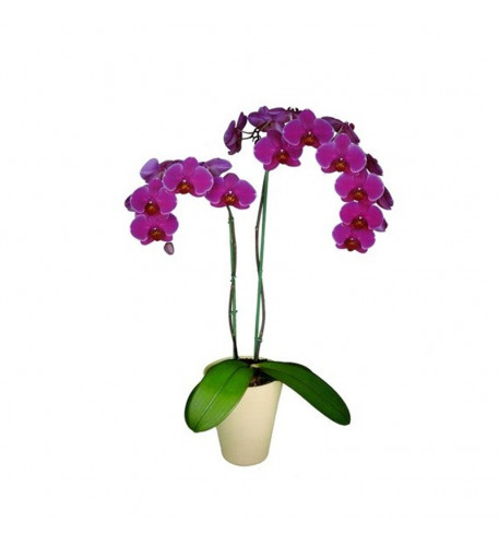 Phalaneopsis Orchid pink
