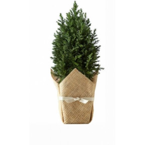 Live Fir-Tree (small)