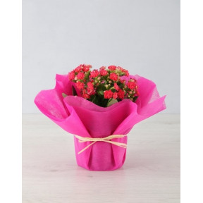 Colourful Kalanchoe In Tissue Paper (White)