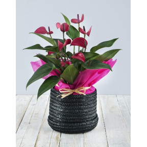 Pink Anthurium in Woven Hat Box