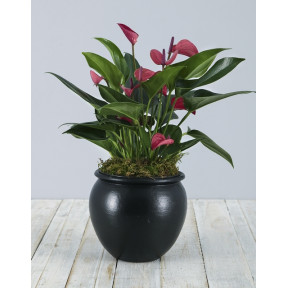 Pink Anthurium in Black Pottery