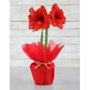 Red Amaryllis Plant