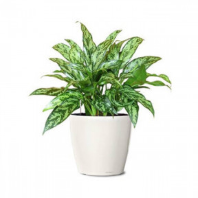 Flowers Aglaonema (Air Purifier)