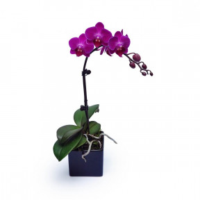 Mini Purple Orchid 1