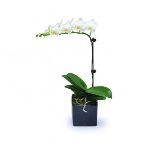 Mini White Orchid 2