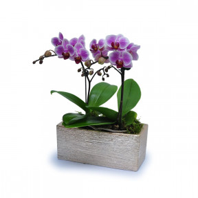 Mini Phalaenopsis 8