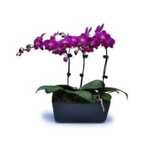 Mini Purple Orchids 11