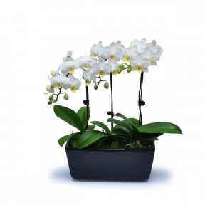 Mini White Orchids 12