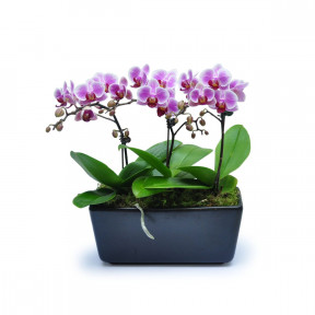 Mini Phalaenopsis 13