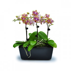 Mini Butterfly Orchids 14