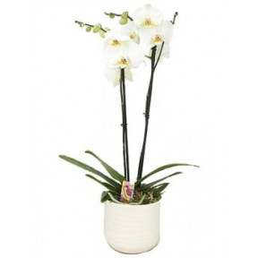 White Phalaenopsis In A Stone Pot
