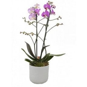 Pink Phalaenopsis In A Stone Pot