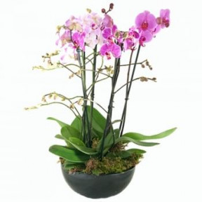 Pink Phalaenopsis In A Scale