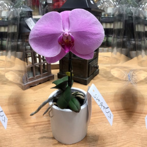 Orchid Single Stem Purple