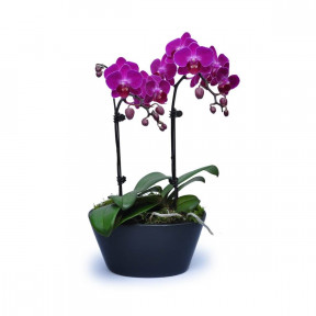 Mini Purple Orchids 6