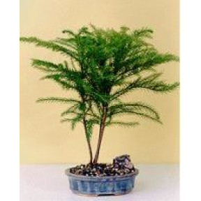 Norfolk Island Pine-Medium