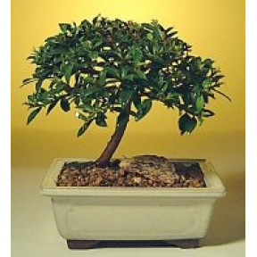 Flowering Brush Cherry Bonsai Tree - Small