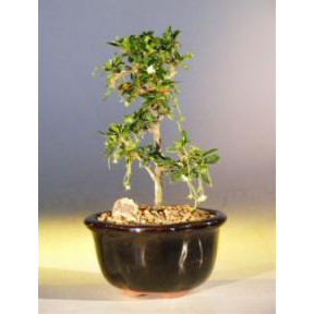 Fukien Tea Bonsai Tree - Smallstraight Trunk Style