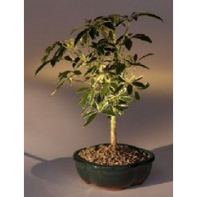 Golden Hawaiian Umbrella Bonsai Tree - Small