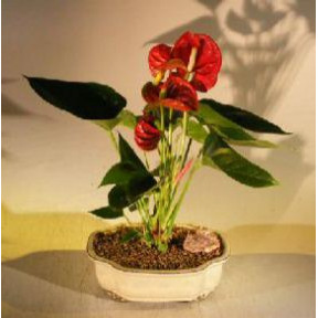 Flowering Red Anthurium (Small Talk) Bonsai Tree