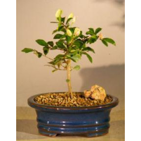 Flowering Lavender Star Flower Bonsai Tree - Small