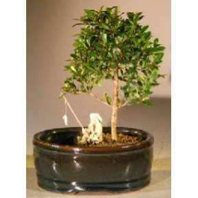 Flowering Brush Cherry Bonsai Treeland/Water Pot - Small
