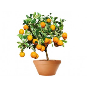 A Pretty Kumquat Tree (50 Cm)